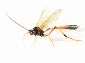 Parasitic-Wasp-TS-116140472-web